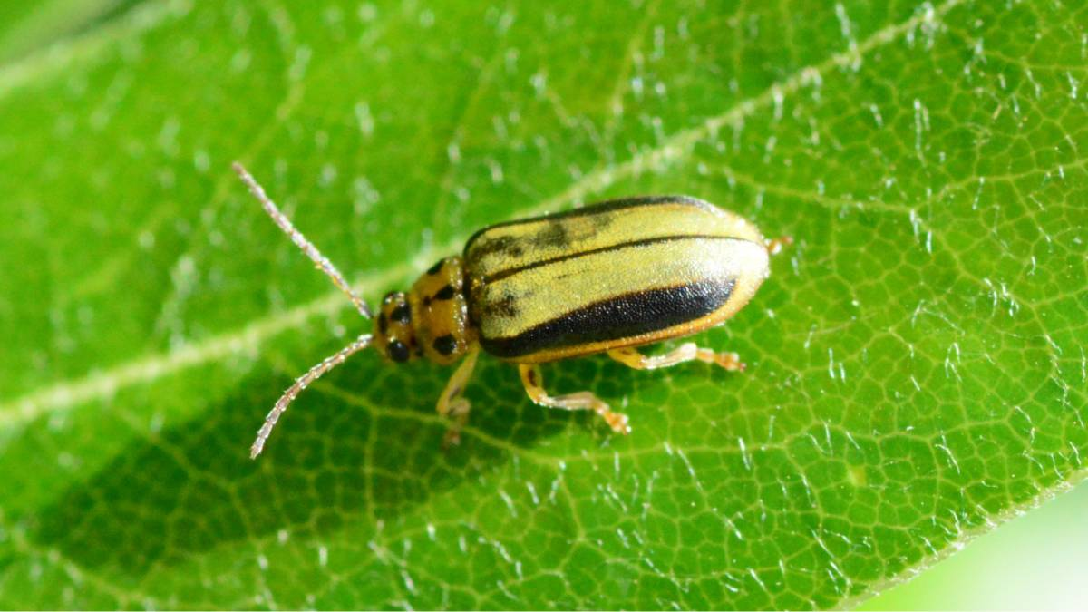 How to get rid of elm leaf beetles